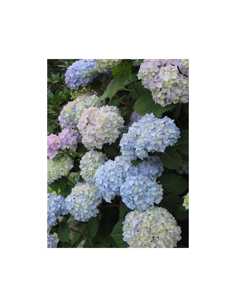 Hortensja ogrodowa Nikko Blue-Hydrangea macrophylla Nikko Blue