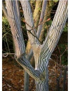 Klon rdzawy -Acer rufinerve