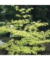 dereń skrętolistny Golden shadow -Cornus alternifolia 'Golden Shadow'