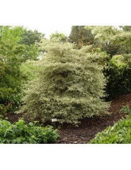 dereń skrętolistny 'Argentea'-Cornus alternifolia 'Argentea'