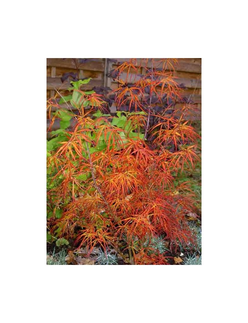 klon palmowy 'Red Pygmy'-Acer palmatum 'Red Pygmy'