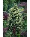 Świerk kaukaski 'Aurea-Picea orientalis 'Aurea'