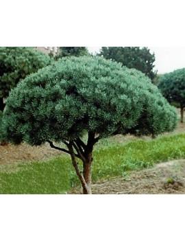 Sosna pospolita 'Watereri'-Pinus sylvestris 'Watereri'