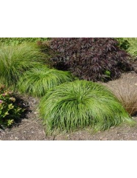 "turzyca wiosenna-Carex caryophyllea ""The Beatles"""