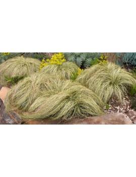 turzyca nowozelandzka-Carex comans 'Frosted Curls'