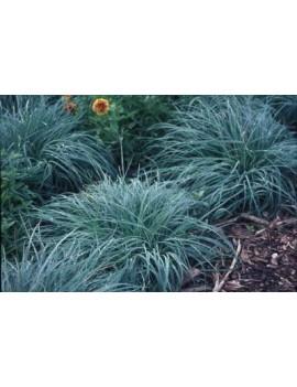 Turzyca sina-Carex flacca Blue Zinger