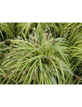 Turzyca oszimska-Carex oshimensis 'EVERGOLD'