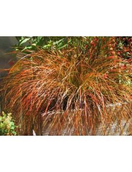 "turzyca ceglasta-Carex testacea ""Prairie Fire"""