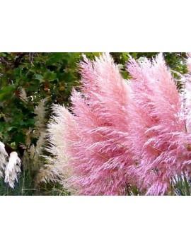 Trawa pampasowa różowa -Cortaderia selloana rosea