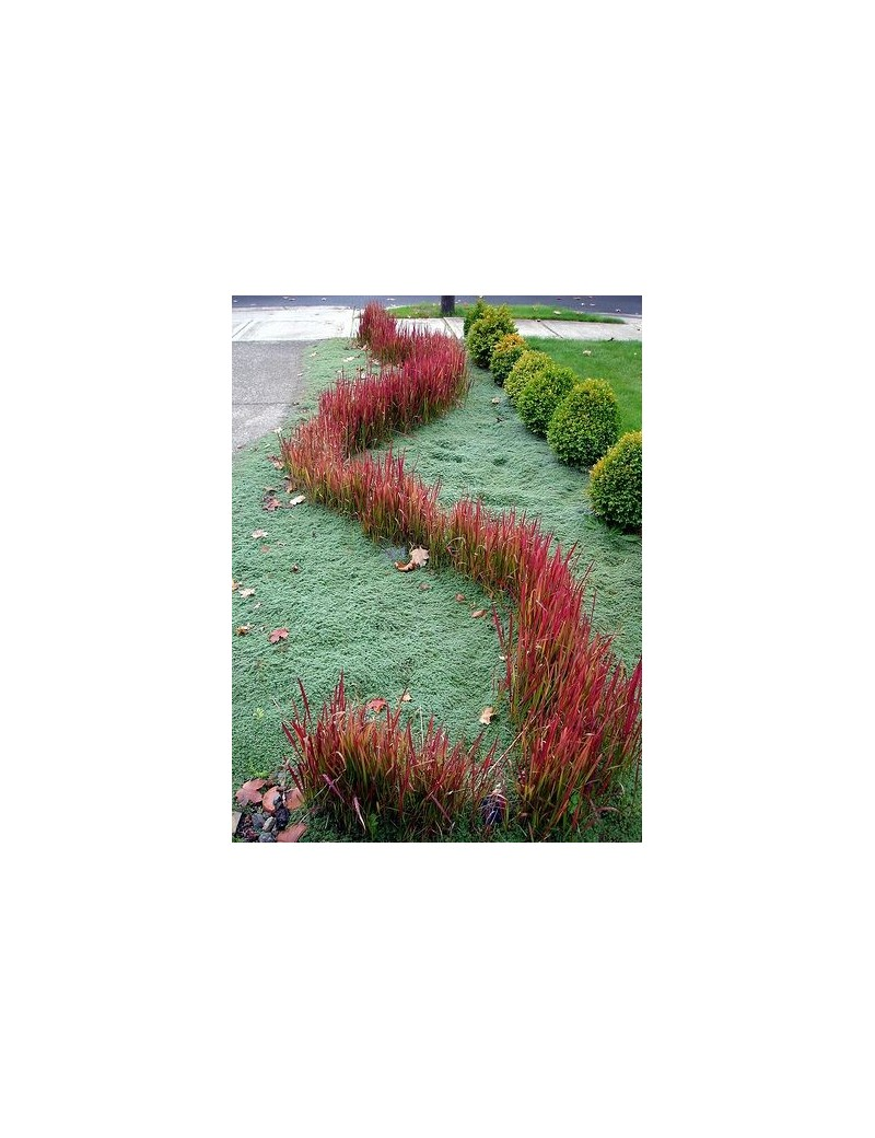 imperata cylindryczna imperata cylindrica red baron. Black Bedroom Furniture Sets. Home Design Ideas