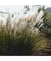 miskant chiński 'Graziella'-Miscanthus sinensis 'Graziella'