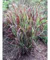 proso rózgowate 'Shenandoah'-Panicum virgatum 'Shenandoah'