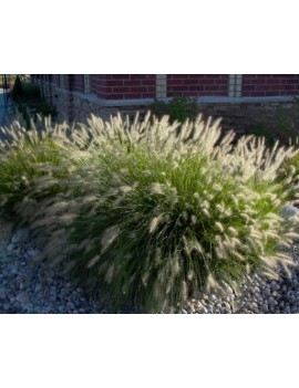 Rozplenica japońska- Pennisetum alopecuroides 'Hameln'