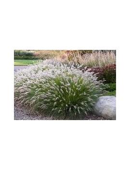 Rozplenica japońska- Pennisetum setaceum Hameln