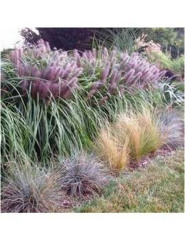 rozplenica japońska 'Moudry'-Pennisetum alopecuroides 'Moudry'