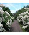 """Hortensja bukietowa Grandiflora-Hydrangea paniculata """"Grandiflora"""""""