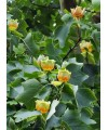 Tulipanowiec Amerykański -Liriodendron Tulipifera