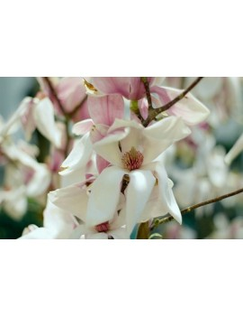 magnolia pośrednia -magnolia Soulange'a