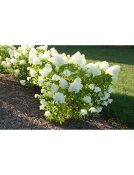 Hortensja bukietowa 'Little Lime' -Hydrangea paniculata