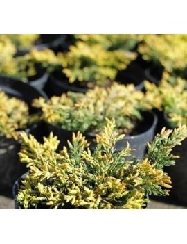 Jałowiec pospolity 'Goldschatz' -Juniperus communis 'Goldschatz'