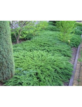 jałowiec sabiński 'Tamariscifolia'-Juniperus sabina 'Tamariscifolia'