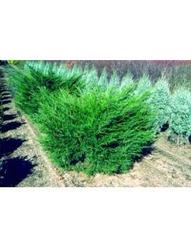 jałowiec pośredni 'Mint Julep'-Juniperus pfitzeriana 'Mint Julep'