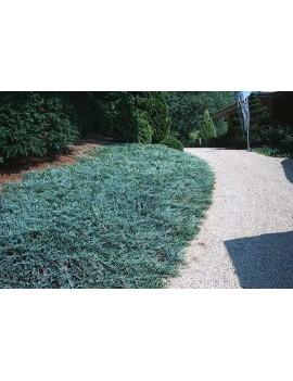 jałowiec płożący 'Blue Chip'-Juniperus horizontalis