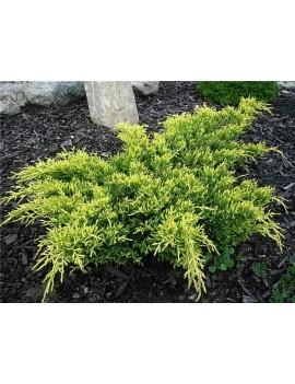 Jałowiec pośredni 'Goldkissen' -Juniperus media goldkissen