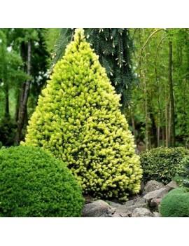 Świerk biały 'Daisy's White'-Picea glauca 'Daisy's White'