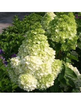hortensja bukietowa polar bear ®. -Hydrangea Paniculata Polar Bear®.