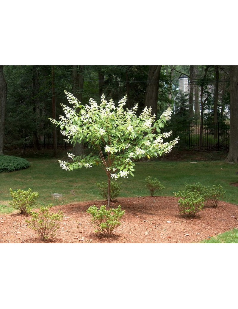 hortensja bukietowa 'Kyushu' na pniu-Hydrangea paniculata 'Kyushu'