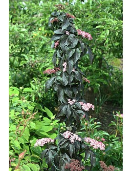 bez czarny black tower-Sambucus nigra BLACK TOWER 'Eiffell' (PBR)