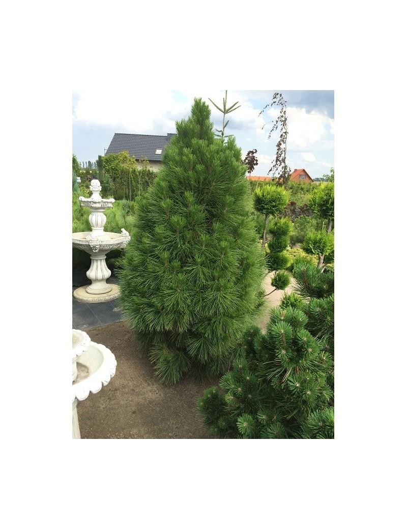 sosna czarna Pyramidalis-Pinus nigra 'Pyramidalis