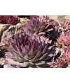rojnik-semoervivum violaceum