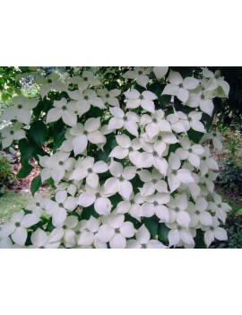dereń kousa all summer-Cornus kousa all summer