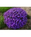 żagwin ogrodowy-Aubrieta 'Cascade Blue'