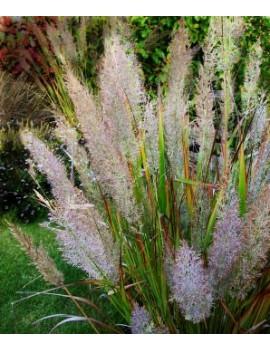 trzcinnik krótkowłosy-Calamagrostis brachytricha