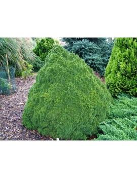 świerk biały 'Lilliput'-Picea glauca 'Lilliput'
