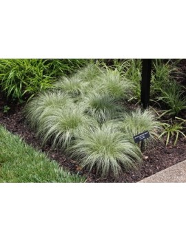 Turzyca włosista 'Amazon Mist'-Carex comans 'Amazon Mist'