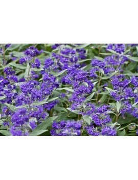Barbula klandońska 'Dark Knight'-caryopteris clandonensis dark knight