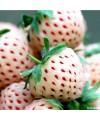 Truskawka pineberry o smaku ananasa-odmiana White Dream