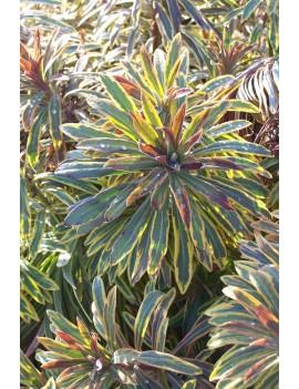 Wilczomlecz 'Ascot Rainbow' PBR -Euphorbia 'Ascot Rainbow' PBR