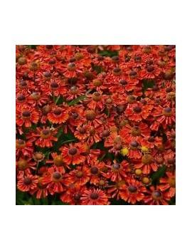 Dzielżan HELENA RED SHADES -Helenium autumnale