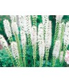 liatra kłosowa Alba-Liatris spicata