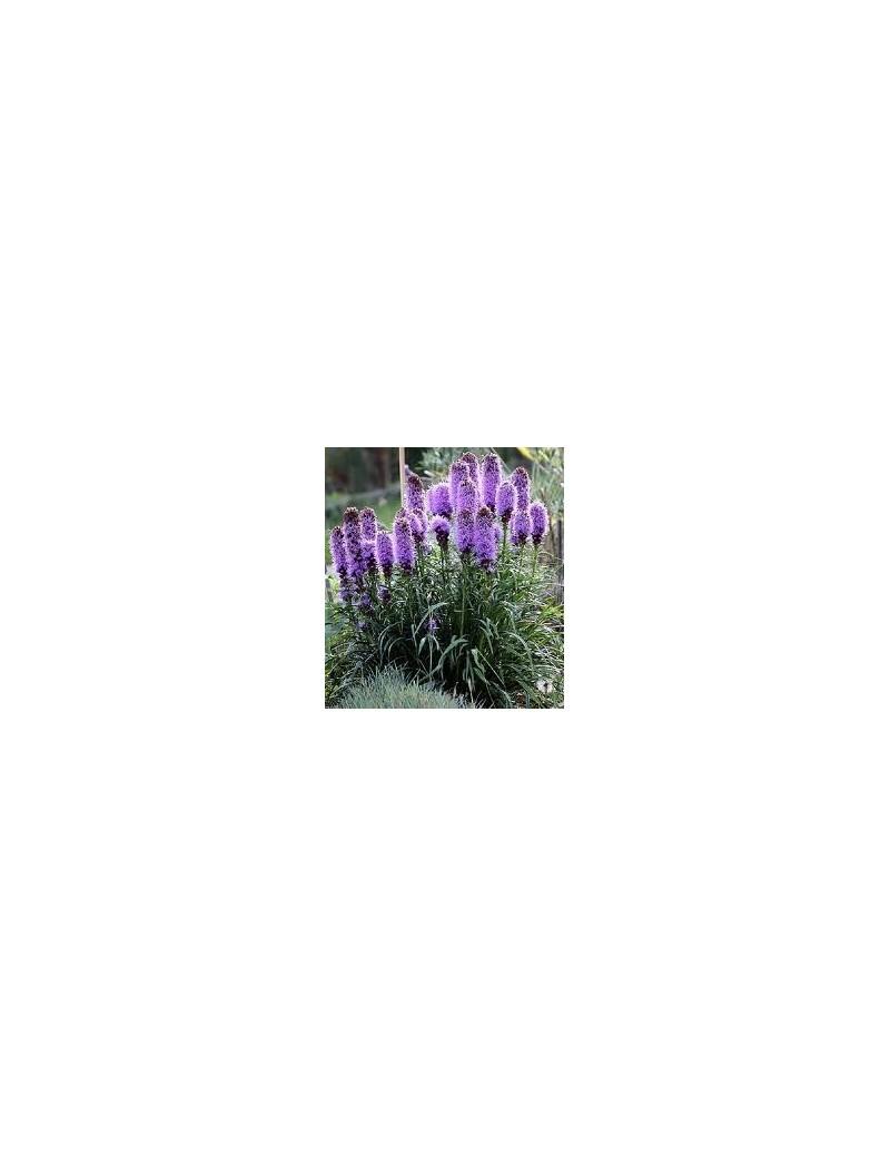 liatra kłosowa Kobold-liatris spicata
