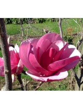 Magnolia CLEOPATRA®