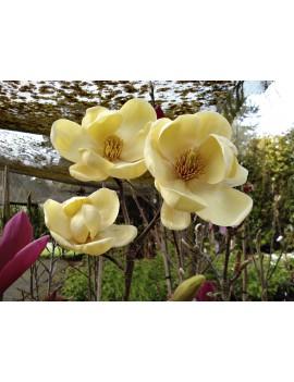 Magnolia HONEY TULIP®