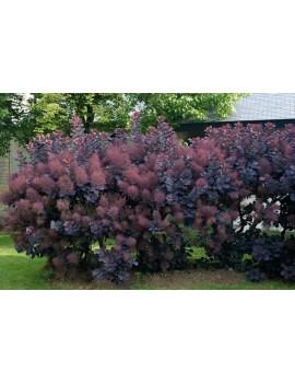 PERUKOWIEC PODOLSKI ROYAL PURPLE -Cotinus coggygria Royal Purple
