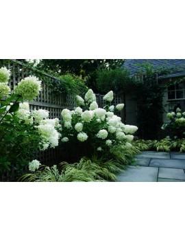 Hortensja bukietowa Phantom -Hydrangea paniculata 'Phantom