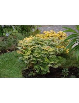 """tawlina jarzębolistna - Sorbaria sorbifolia """"Sem"""""""